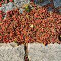 Beeren von einer Eibe in Jeruzalem